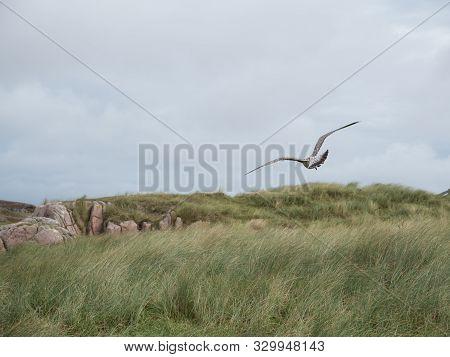 Herring Gull Hovers Along The Uk Coast