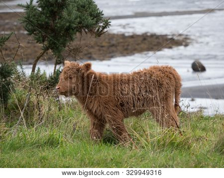 Baby Highland Cow On The Isle Of Mull
