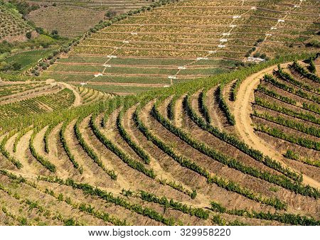 Terraces Of Grape Vines For Port Wine Production Line The Hillsides Of The Douro Valley Near Pinhao