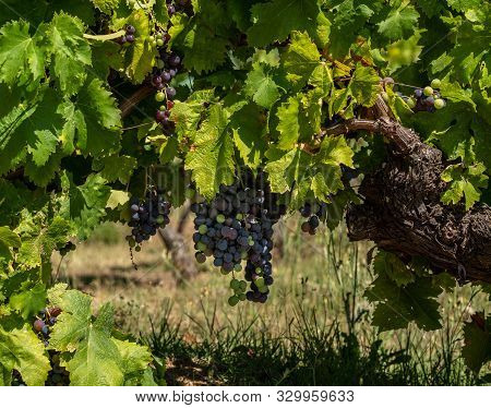 Bunches Of Black Or Red Grapes For Port Wine Production Line The Hillsides Of The Douro Valley In Po