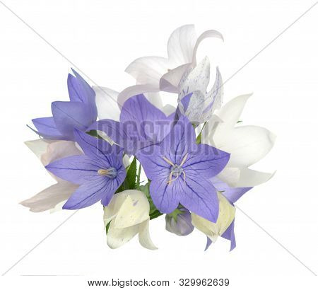 Pink And Purple Platycodon Flowers Isolated On White