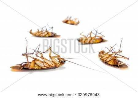Macro Closeup Many Cockroach Lay Dead Isolated On White Background, Group Small Brown Insect With Wi