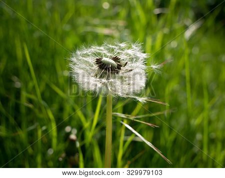Dandelion Seeds In The Sunlight Blowing Away Across A Green Morning Background