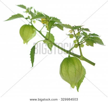 A Branch Tomatillo Fruit On White Background