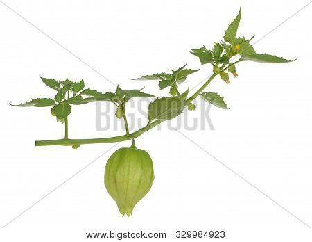 Single Fresh Tomatillo Fruit On White Background