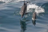 Common dolphin training her calf to use the waves poster