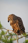 Barred Owl, Strix varia, perched in Cypress Tree eating crayfish in Everglades National Park, Florida in early spring. poster