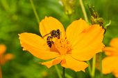Close up of a bee collects nectar from cosmos flower poster