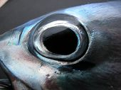 a close up of a tuna fishes eye. fresh fish with full round eye and solid black pupil. poster