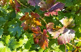 Closeup Of Colorful Merlot Red Wine Grape Leaves In Autumn