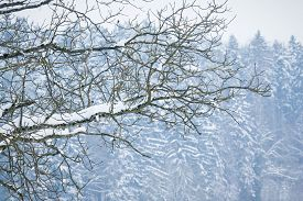 White Winter Wonderland Tree In Forest With Snowy Ice Branches. Wonderful Cold North Weather Scene A