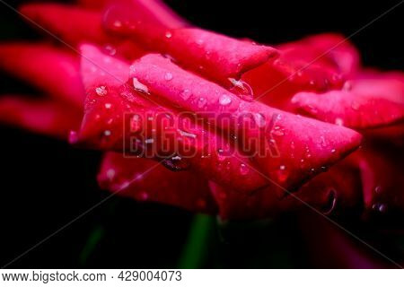 Red Rose Close Up With Selective Focus And Rain Drops On It With Black Background.