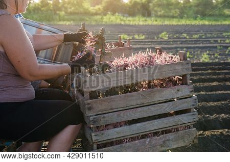 A Woman Farmer Is Planting Potatoes On A Potato Seeds Planter. Automation Of The Process. High Effic