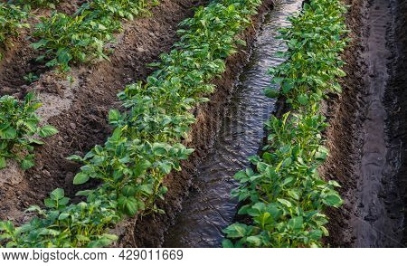 Water Flows Between Rows Of Potato Bushes. Watering The Plantation. Providing The Field With Life-gi