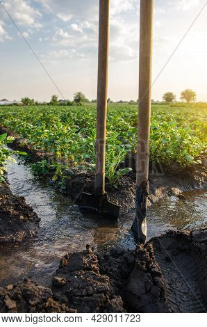 Potato Plantation Watering Management. The Shovels Stuck Into The Stream Evenly Distribute The Water