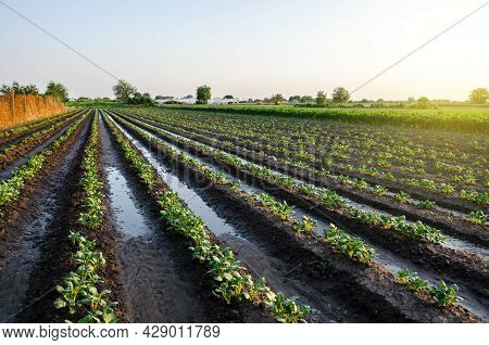 A Freshly Watered Potato Plantation In The Early Morning. Vegetable Farming. Surface Irrigation Of C