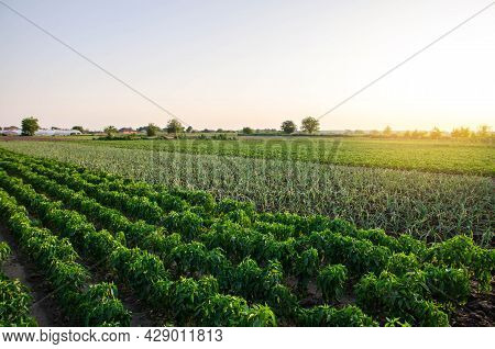 A Farm Field Planted With Different Crops. Growing Capsicum Peppers, Leeks And Eggplants. Agricultur