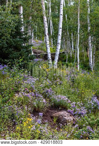 Aspen trees surrounded with Wildflower meadow along Brush creek trail in Colorado