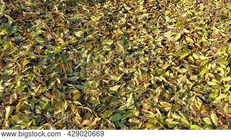 Autumn Leaves Covered Ground In Park At Sunny Fall Weather. Tranquil Fall Background. Orange And Yel
