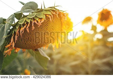 Honey Bee Pollinating Sunflower. Sunflower Field In Background. Selective Focus.