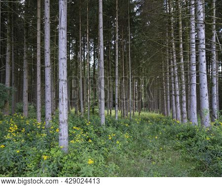Grey Trunks Of Spruce Trees In French Ardennes With Yellow Summer Flowers Around Them