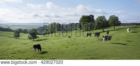 Green Grassy Meadows With Black And White Cows And Trees Near Old Village In French Ardennes Near Ch
