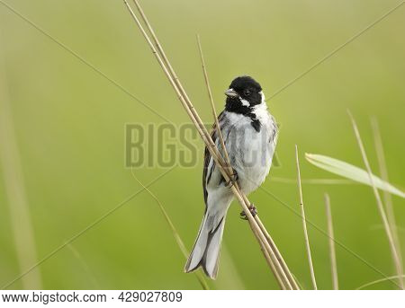 Close Up Of A Perched Common Reed Bunting In Rainham Marshes Nature Reserve, Uk.