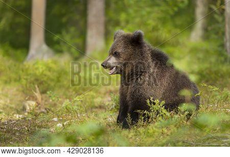 Close Up Of An Eurasian Brown Bear (ursus Arctos Arctos) Cub In Boreal Forest, Finland.