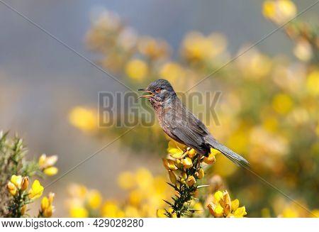 Close Up Of A Perching Dartford Warbler In A Gorse Bush, Uk.