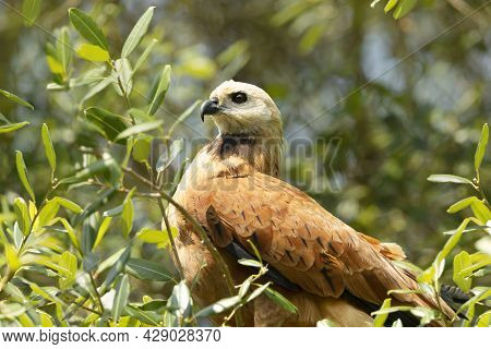 Close Up Of A Black-collared Hawk Perched In A Tree, Pantanal, Brazil.