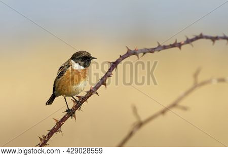 Close Up Of A Perched European Stonechat On A Branch Against Colorful Background, Uk.