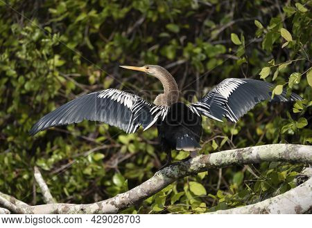 Close Up Of Anhinga Perched On A Falling Tree With Wingsand Tail Spread To Dry, Pantanal, Brazil.
