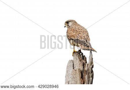 Close Up Of A Common Kestrel Perched On A Post Against Clear White Background.