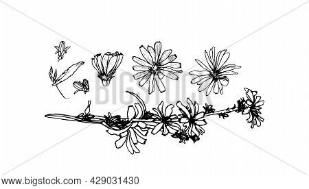 Illustration Of Medicinal Herbs Chicory. Chicory Plant And Chicory Root Vector.