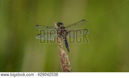 Scarce Chaser (libellula Fulva). Dragonfly Basking In The Sun. Macro Photo, Close-up