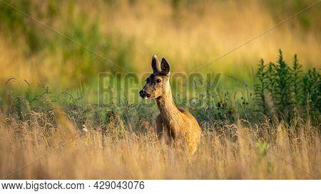 Roe Deer (capreolus Capreolus) Walks On A Green Meadow. Roe Deer Looking For A Food. Meadow With Wil