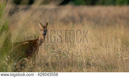 Roe Deer (capreolus Capreolus) Walks On A Meadow. Roe Deer Looking For A Food. Meadow With Wild Anim