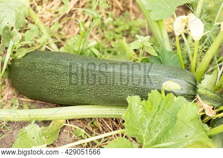 Young Zucchini Grows In The Garden, Zucchini Bush With A Large Harvest
