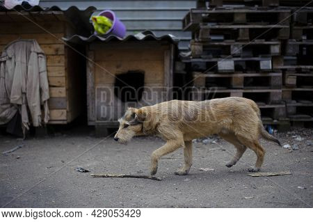 A Large Red-haired Dog In The Yard. Shelter For Dogs, Cute Red-haired Dog. Homeless Hungry Dog Is Wa