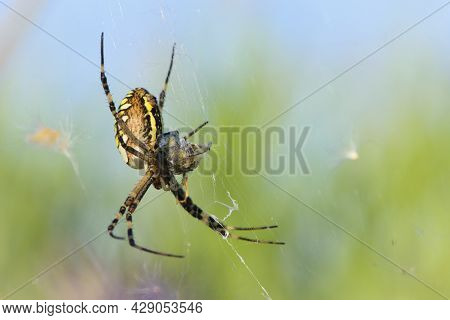Argiope Bruennichi Eating His Victim. Large Wasp Spider Sits On A Web On A Green Background. Argiope