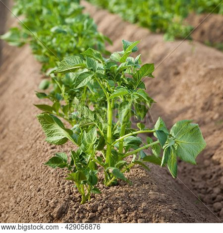 Cultivation Of Potatoes In Russia. Landscape With Agricultural Fields In Sunny Weather. A Field Of P