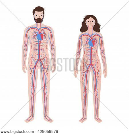 Arterial And Venous Vessels, Circulatory System In Human Body. Blood And Heart In Woman And Man Silh