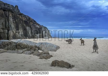 Kangaroos On A Rocky Beach In Arakoon On Nsw Coast