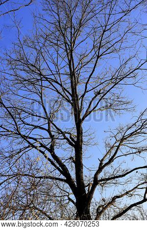 Tree With Branches Without Leaves At The End Of Winter Or Beginning Of Spring Against Blue Sky, Bare