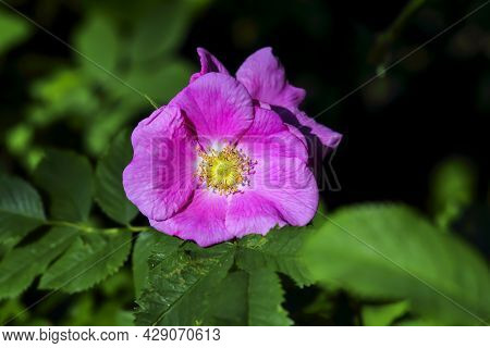 Colorful Pink Open Flower Of Shrub Rose (rosa) In Late Spring