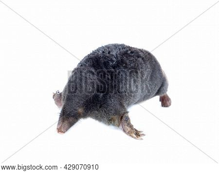 Animal Earthen Mole On A White Background.