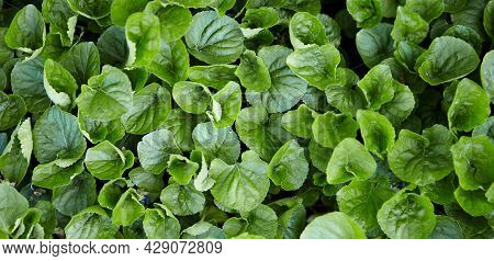 Dark Green Foliage Of A Healthy Plant With Serrated Leaves Glistening With Raindrops. Low Key, Horiz