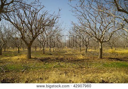 Pistachio Tree Farm In Winter