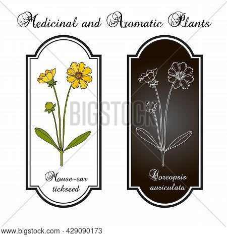 Mouse-ear Tickseed Coreopsis Auriculata , Perennial Plant, Florida State Wildflower. Hand Drawn Bota