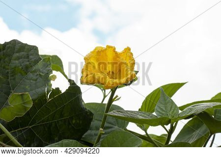 Yellow Flower Of Angle Luffa Bloom In The Garden On Blue Sky Background.
